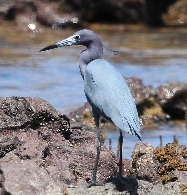 garça-azul (Egretta caerulea) por Mathias Singer   Wiki Aves - A Enciclopédia das Aves do Brasil