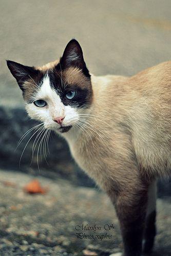 les 83 meilleures images propos de chats sur pinterest chats chatons siamois et beaux chats. Black Bedroom Furniture Sets. Home Design Ideas