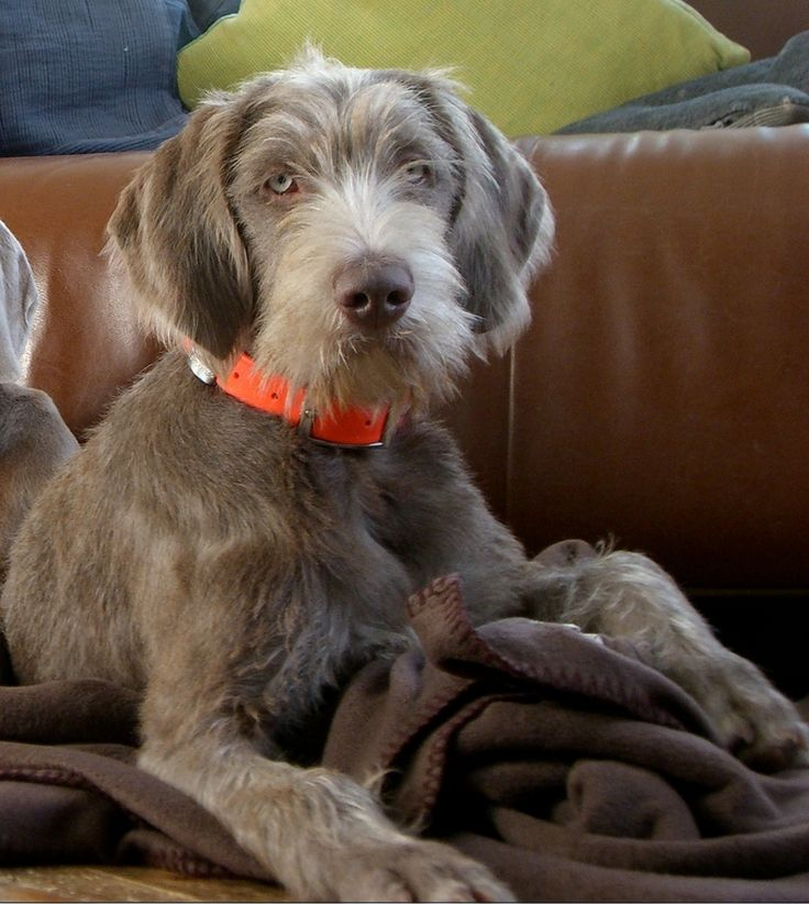 Wirehaired pointing griffon puppies for sale 2020 montana