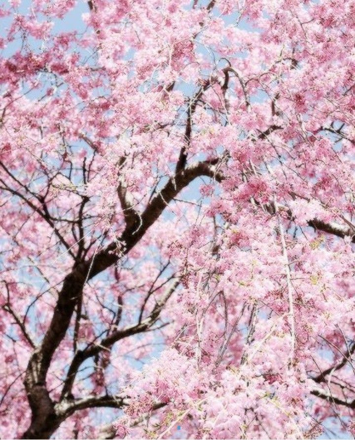 Pin By Christi On Kartinki Tree Photography Garden Pictures Cherry Blossom Wallpaper