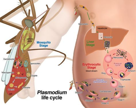 Life cycle of the human malaria parasite. Image credit: Le Roch Lab, UC Riverside.