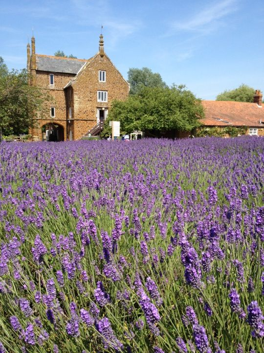 Best 25 Norfolk Lavender Ideas On Pinterest Lavender
