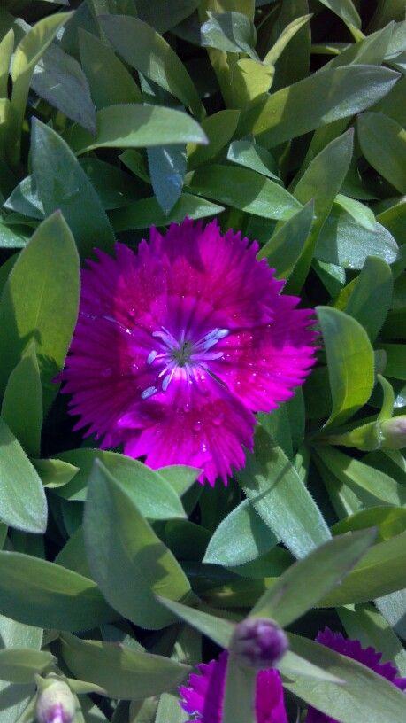 Dianthus Ideal Deep Violet Bountiful Plants | Flowers ...