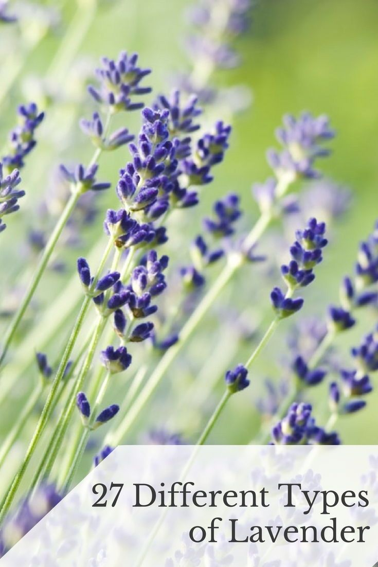 27 Different Types Of Lavender And Benefits Of Growing It Flower Landscape Purple Flowers Garden Planning