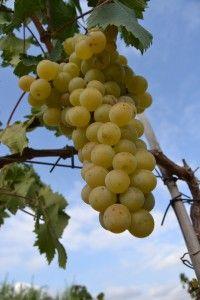 La uva malvasía habla por sí sola http://75centilitros.es/fotos-de-la-vendimia-2013-en-la-baronia-de-turis/