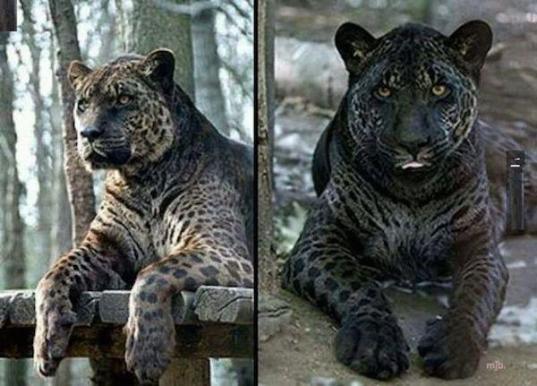 Pokud si dobře vzpomínám, hybrid mezi puma a levhart. Vzácný šelma. Všechny hybridy jsou sterilní, velké kočky