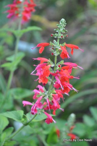 Salvia with red and pink blooms: Rose, Eye