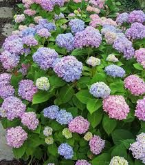 Plant List - Endless Summer Hydrangea Hydrangea macrophylla 'Bailmer' -- Blooms on new and old wood consistently therefore producing flowers all summer. Pink or blue blooms depending on soil acidity. Dead heading will encourage new blooms.