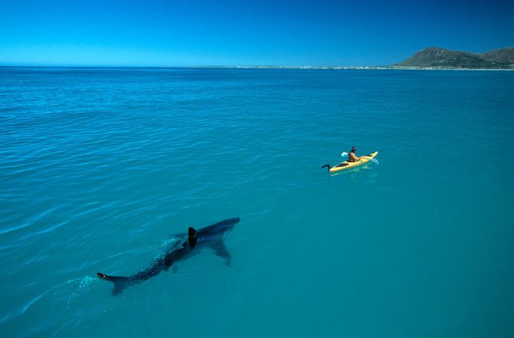 Amazing photograph of a Great White Shark following a yellow kayak in shallow watersoff our very own Cape coast!A real conversation piece! A must have for nature lovers.Read the whole story of this iconic photograph here:http://www.thomaspeschak.com/kayak-great-white-sharks-/Why to buy:WOW PictureAmazing example of Nature photographyIt is the real dealPhoto is a copyProfessionally Framed in a limewashed solid wood frameEndorsed by National GeographicDimensions: 92x65cmPriced to clearPlease…