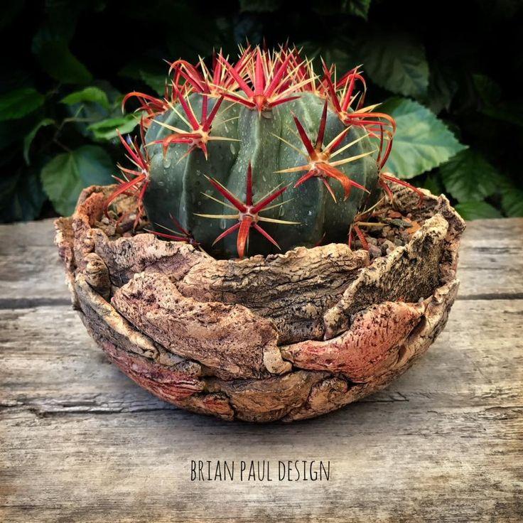 Devils Tongue Barrel Cactus in a pot by Brian Paul Design.