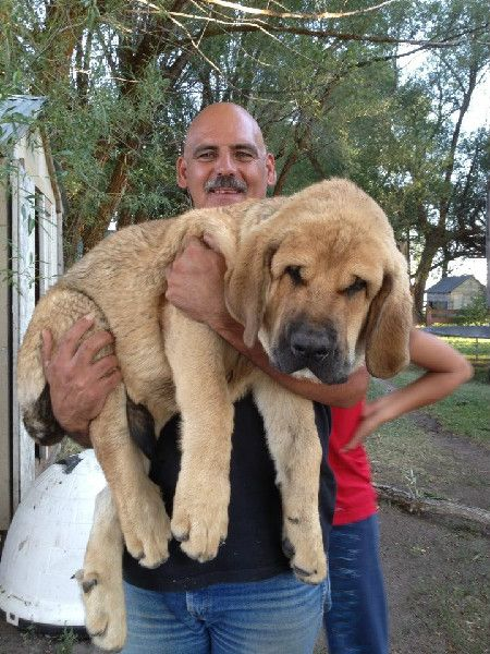 Spanish Mastiffs