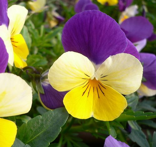pansies...cant wait to get mine planted.. they make me so happy during the long winter!