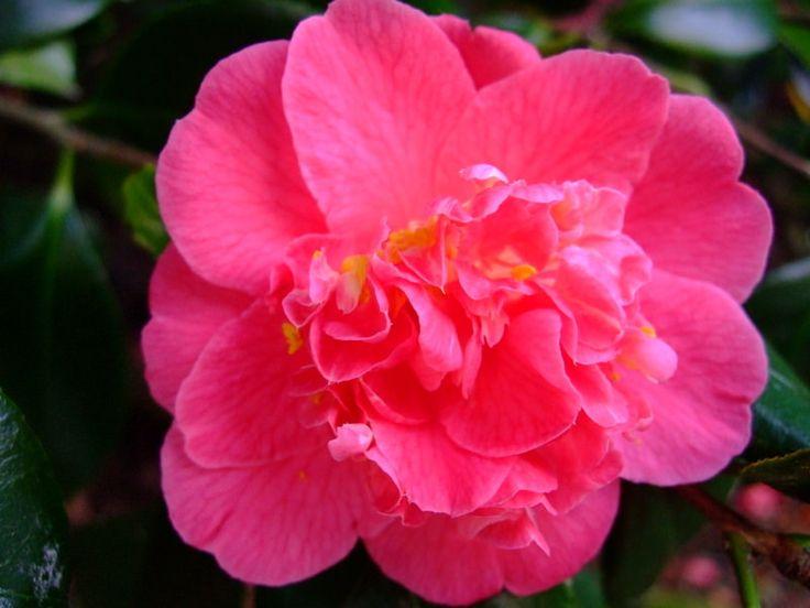 https://flic.kr/p/22tP3m5 | Camellia | www.youtube.com/user/yewmchan/videos