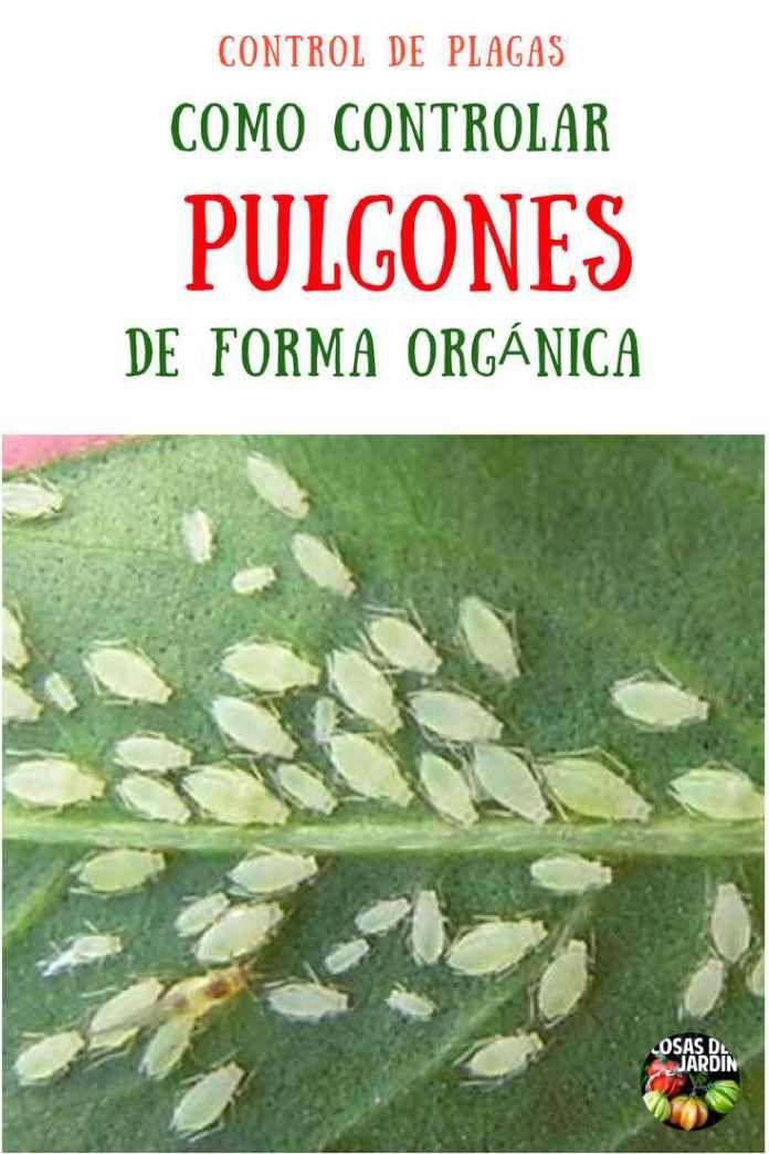 4 Metodos Organicos Para Erradicar El Pulgon Del Huerto Cosas Del Jardin Jardinagem Biológica Pulgões Como Plantar Rosas