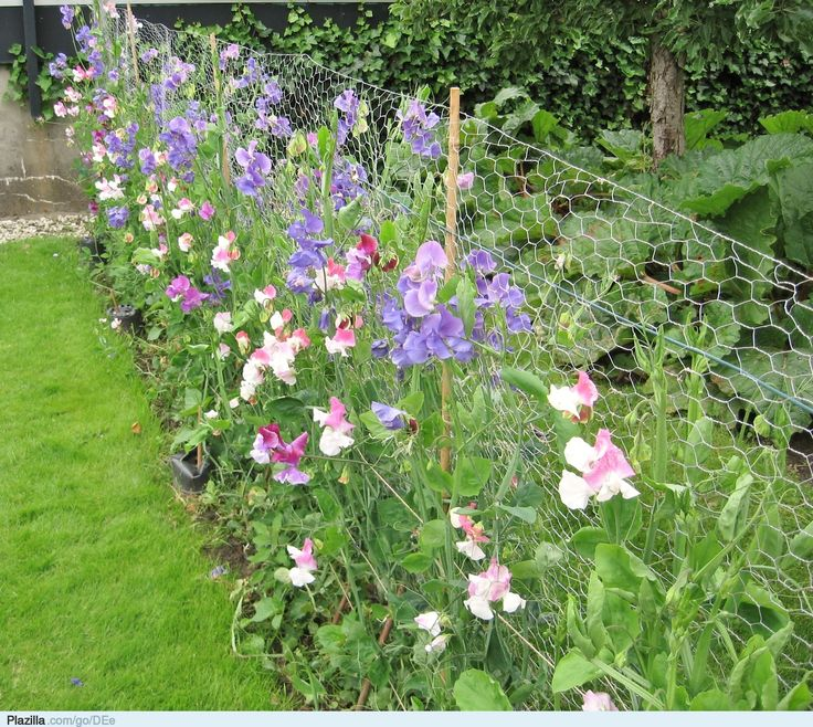 lathyrus tuin - de mooiste manier om een afsluiting te verstoppen