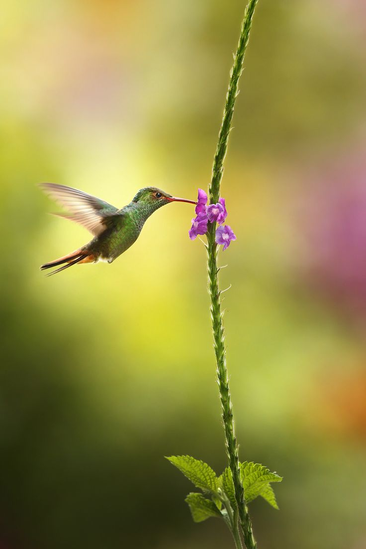 Hummingbird the 1st by ~RadekDemjan