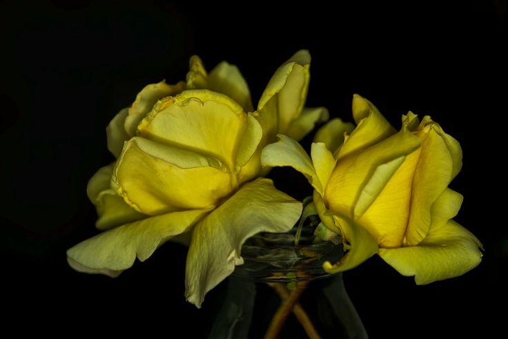 Sarı Güller (Yellow roses) by Ismail Calli - Photo 131197945 / 500px