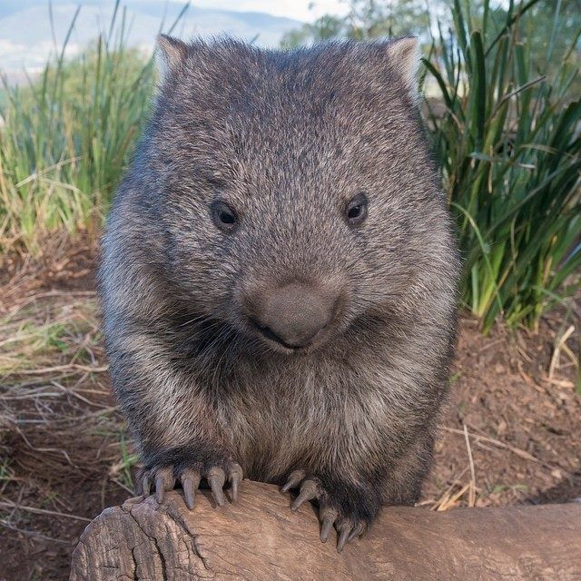 Max the wombat from Bonorong Wildlife Sanctuary Hobart Tasmania