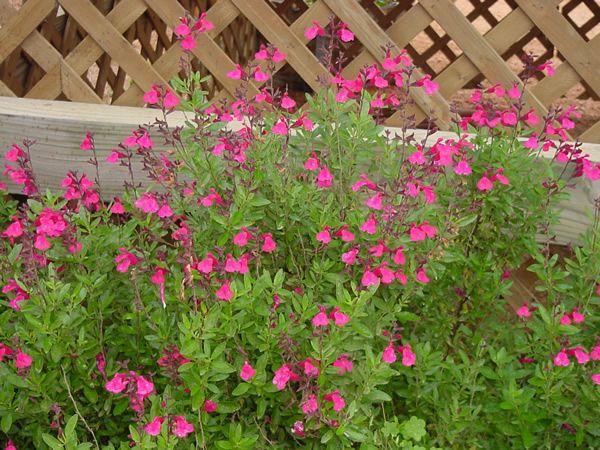 Botanical Name Salvia Greggii Lipstick Common