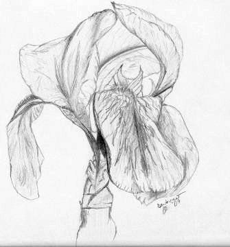 Pencil drawing of a bearded iris flower by emily dewbre young of arlington texas