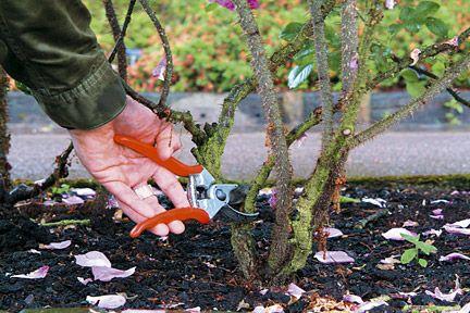 Rose pruning: shrub roses / Royal Horticultural Society