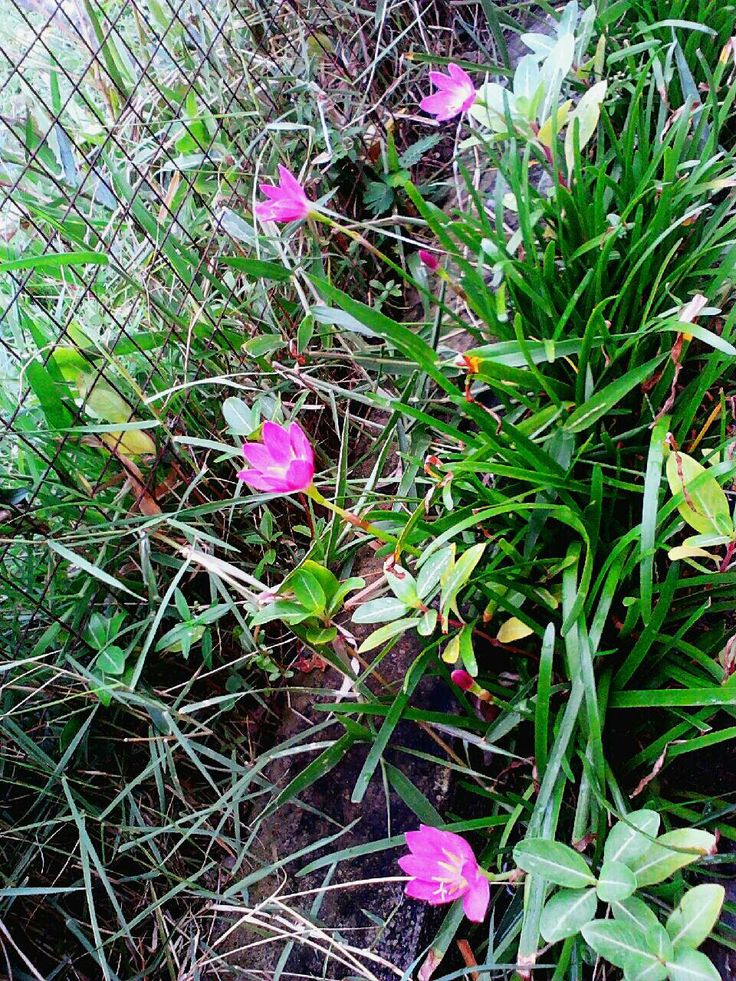 My pink Zephyranthes