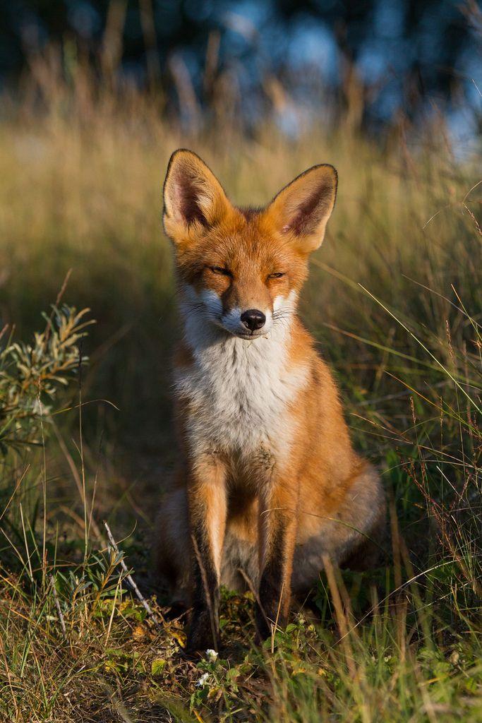 (by mijnfotos.eu) pretty red fox