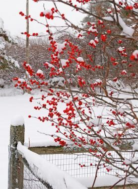 9 Winter Garden Plants That Dazzle Even in Snow  Read more: http://www.houselogic.com/photos/gardens/winter-plants/slide/flowering-quince-chaenomeles/#ixzz3mdouwzBx  Follow us: @HouseLogic on Twitter | HouseLogic on Facebook