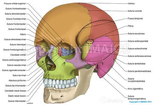 Crânio: ilustrações anatômicas: Suturas do crânio, Ossos do crânio, Parietal, Frontal, Occipital, Esfenóide, Temporal, Etmóide, Concha nasal inferior, Osso nasal, Maxila, Zigomático, Mandíbula