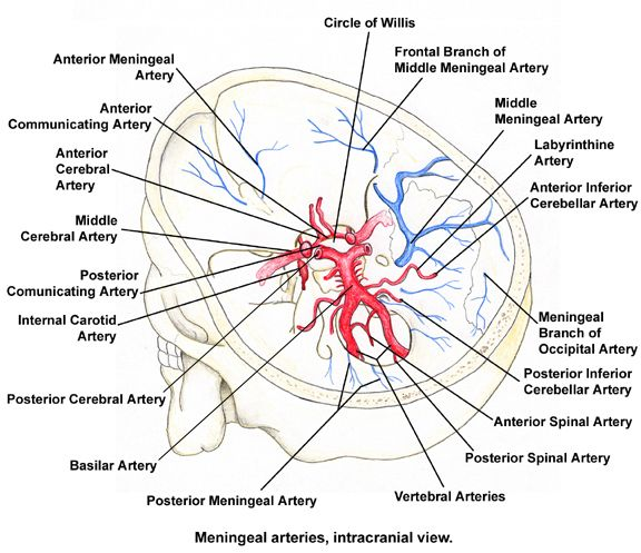 Circle of Willis Anatomy