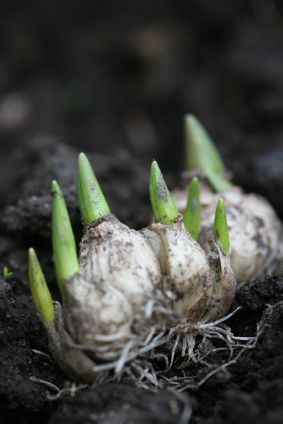 Because bulbs multiply, it is necessary to divide them every few years. Dividing flower bulbs is easy. All you really need is a shovel and a little time. Read the info in this article to learn how to split flower bulbs.