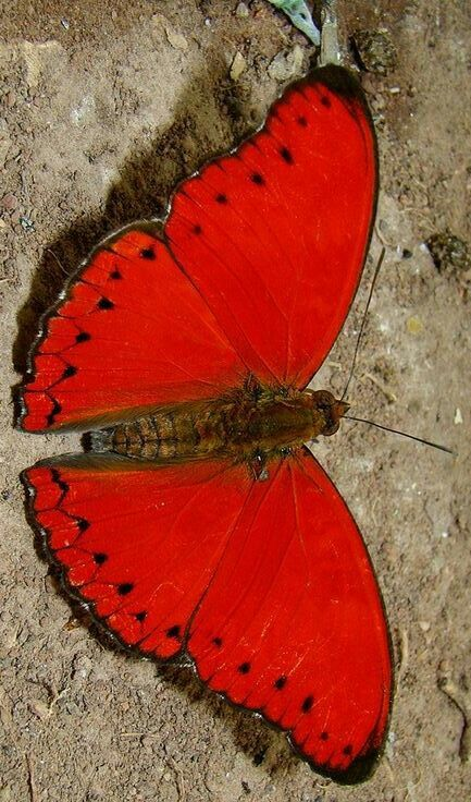 .INCREDIBLE!! - THIS GORGEOUS BUTTERFLY IS CALLED  A BLOOD RED CYMOTHOE! - WHO WOULD BELIEVE A BUTTERFLY COULD BE SOOO RED!! ⭕️