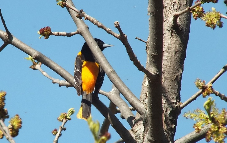 A baltimore oriole looks right - thicksons woods - whitby - ontario