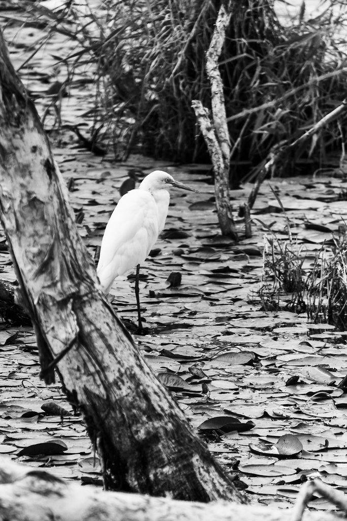Little Egret - Sandgate, QLD, Australia - Monochrome - Zac Harney Photography