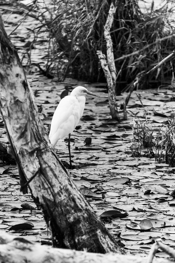 Little Egret - Sandgate, QLD, Australia - Monochrome - Zac Harney Photography