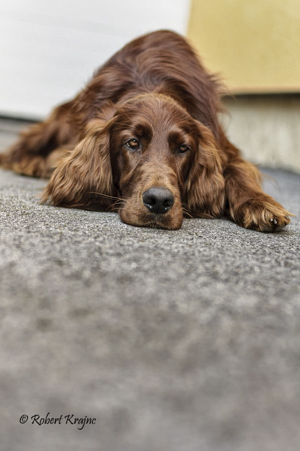 Worksheet. Best 25 Red setter dog ideas on Pinterest  Irish setter dogs