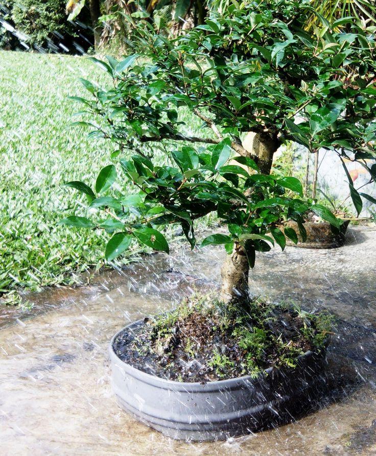 Bonsai cuidados el riego bonsai - Tierra para bonsais ...