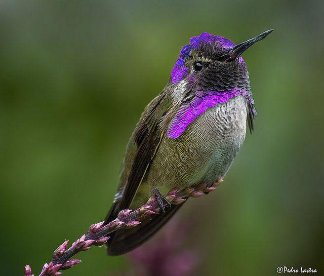 ~~Costa's Hummingbird, Wings of the Tropics, Fairchild Tropical Botanic Garden by Pedro Lastra~~