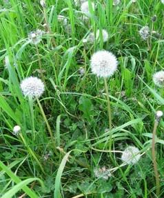 How to Prevent Weeds in Garden and Flowerbeds....: Food Recipes, Flowers Gardens, Gardens Ideas, Farms Food, Weed Killers, Dandelions Weed, Gardens Yard, Gardens Growing, Diy Weed
