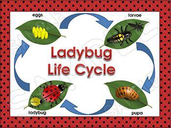 51 best images about Ladybugs on Pinterest | Life cycle ... - photo#24
