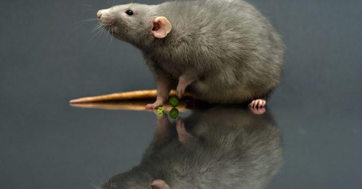 Como atrair um rato. Os ratos são roedores grandes que vivem em áreas urbanas, rurais e suburbanas. Eles são atraídos pelas habitações humanas, onde contaminam alimentos, roem madeira e fiação e levam parasitas que espalham doenças. É mais seguro para outros animais e crianças pequenas capturá-los com armadilhas do que usar iscas de veneno, e o rato preso pode ser ...