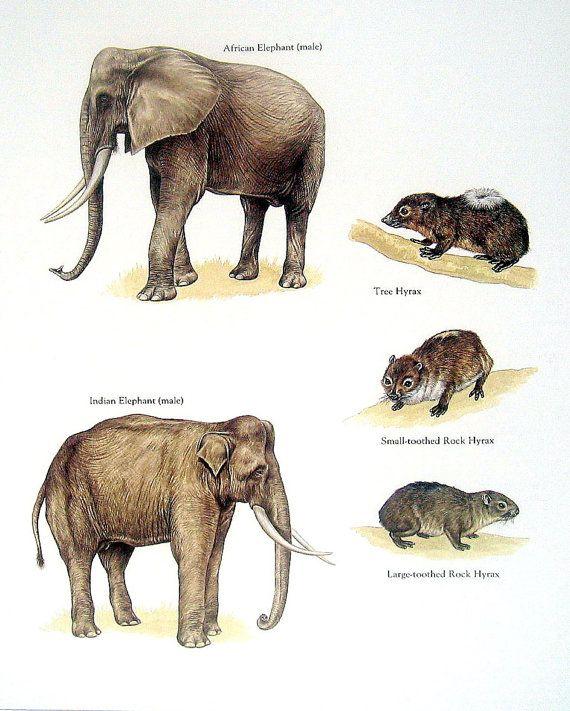 Elefante africano, elefante indio, árbol Hyrax, etc.. Vintage 1984 libro Animal placa