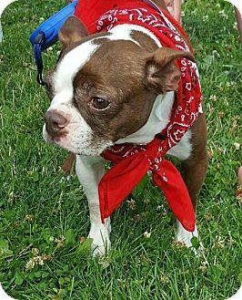 Lisbon, IA - Boston Terrier. Meet Mandy, a dog for adoption. http://www.adoptapet.com/pet/17425006-lisbon-iowa-boston-terrier
