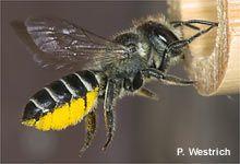 So bauen Sie wirksame Nisthilfen für Wildbienen