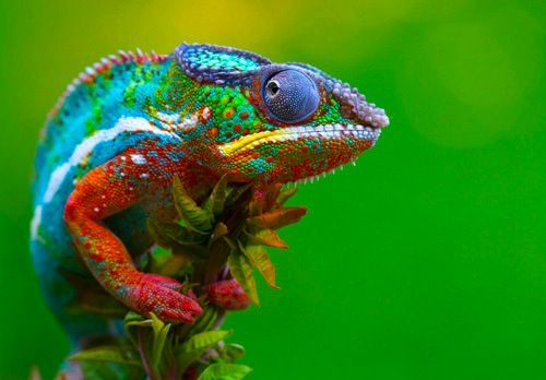 .: Animals, Chameleons, Nature, Colors, Beautiful, Creatures, Reptile, Photo
