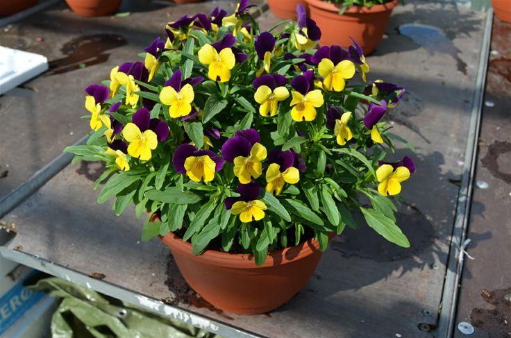Vi selger disse vakre HAGEFIOLENE som småplanter i 4x4 cm. pluggklump føre 01.04. Sender over hele landet i postverkets minikartong. Tlf. 94179050 eller de kan hentes på Grette i Lier