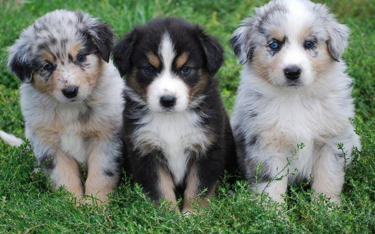 Related For bernese mountain dog australian shepherd mix. australian shepherd mix breed