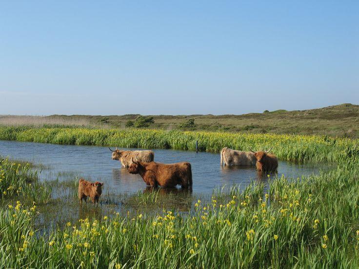 Niet allen wij, mensen, verlangen naar een verkoelende duik in de zomer, deze Schotse Hooglanders ook.