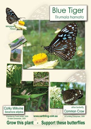 Poster depicting Blue Tiger Butterfly