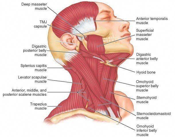 under chin muscle diagram pin on massage  pin on massage